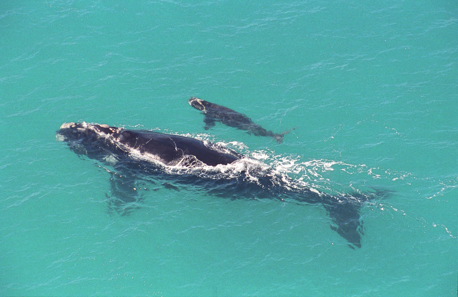 head of the bight mother and calf whale