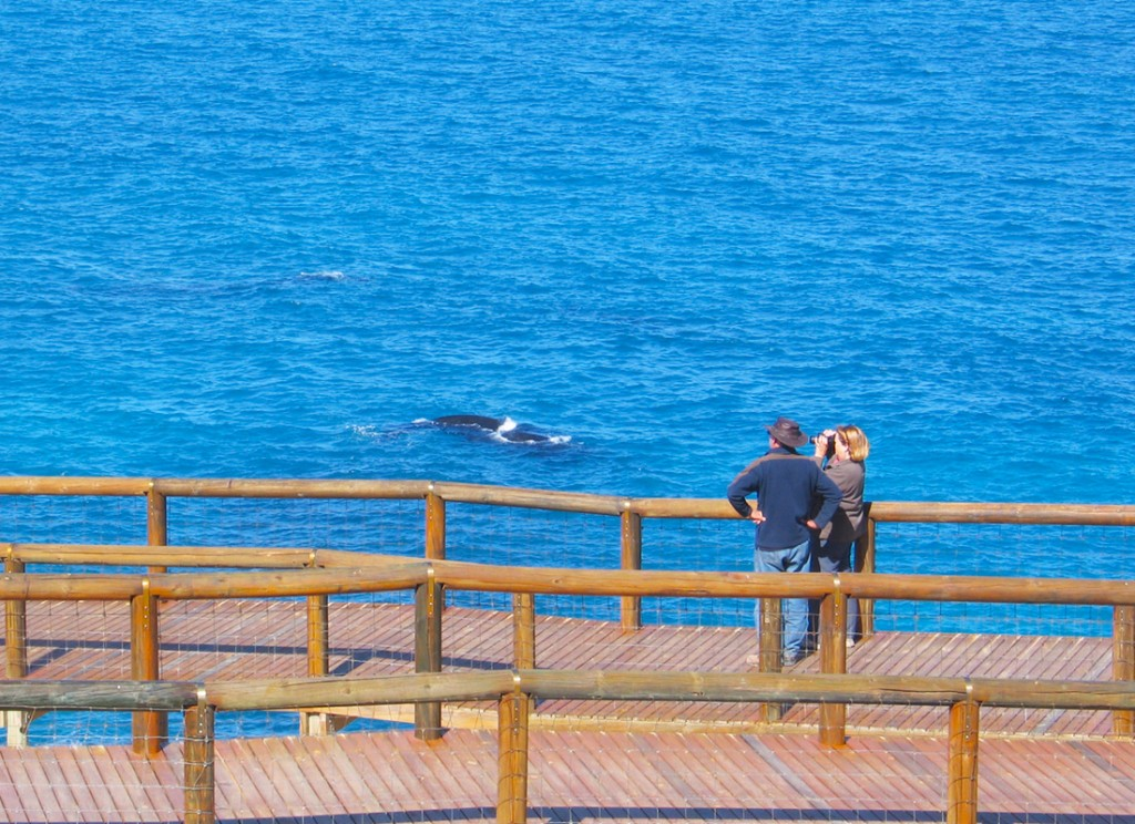 Whale watching at the Head of the Bight