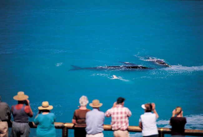 Whale-Watching-Head-of-Bight