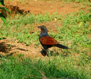 coucal cuckoo nullarbor roadhouse prehistoric