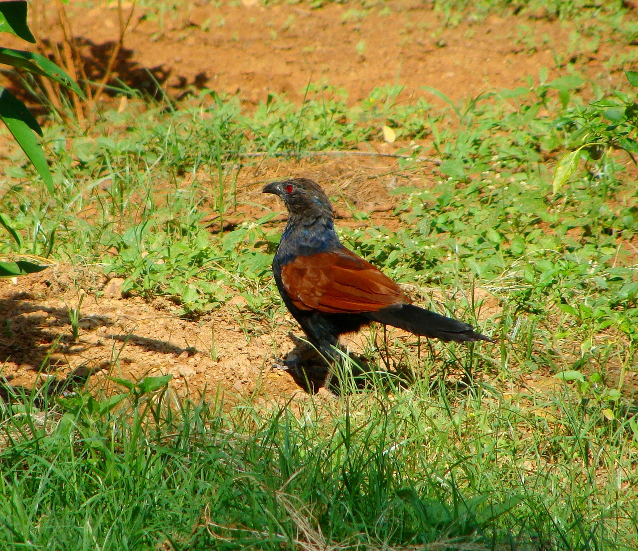 coucal cuckoo nullarbor roadhouse prehistoric
