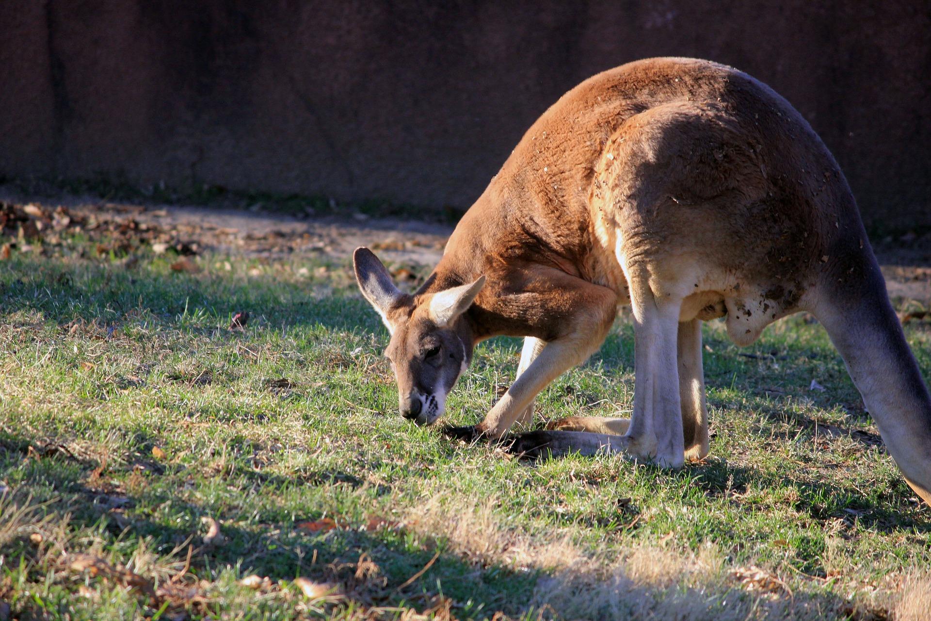 grazing kangaroo nullarbor roadhouse tree