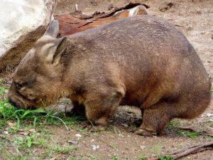 wombat grazing prehistoric nullarbor roadhouse