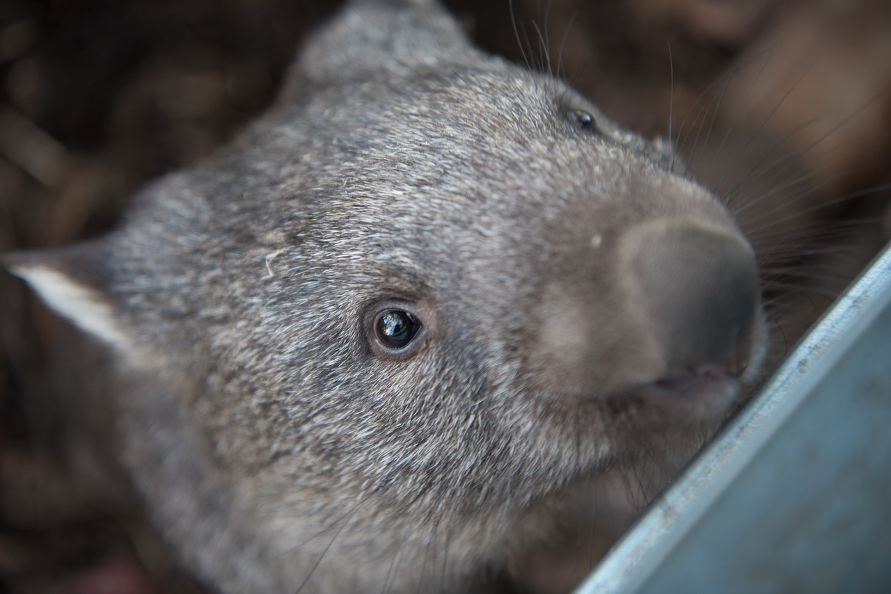 A hairy-nosed wombat