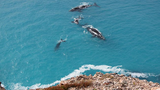 Whale-watching at the Head of the Bight – A Nullarbor Attraction