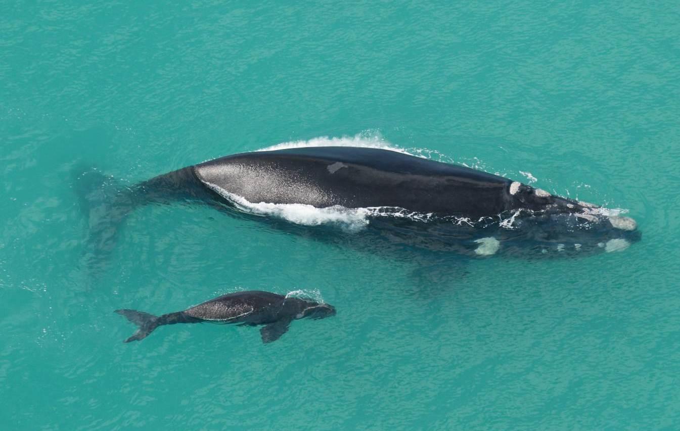 whale parent