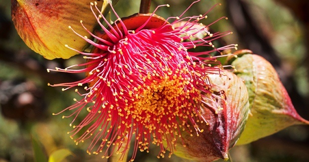 Pick your Poison: Dealing with the Nullarbor's Poisonous Flora and Fauna