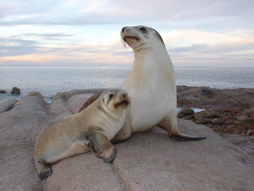 streaky bay sea lion