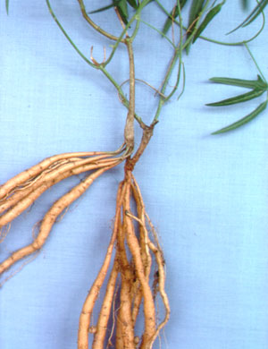 Vigna lanceolata