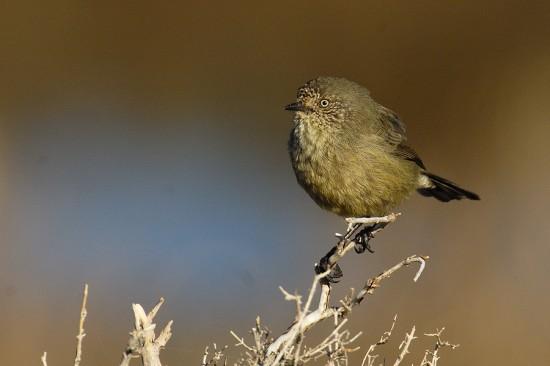 normal_slender-billed-thornbill-00001