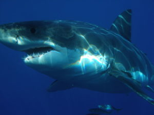 800px-Carcharodon_carcharias