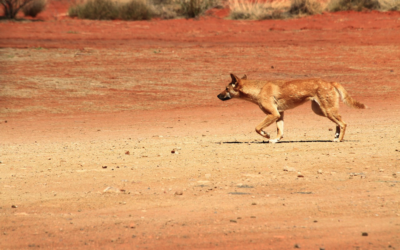 Creatures Of The Middle Of Nowhere – Wildlife Of The Nullarbor Plain