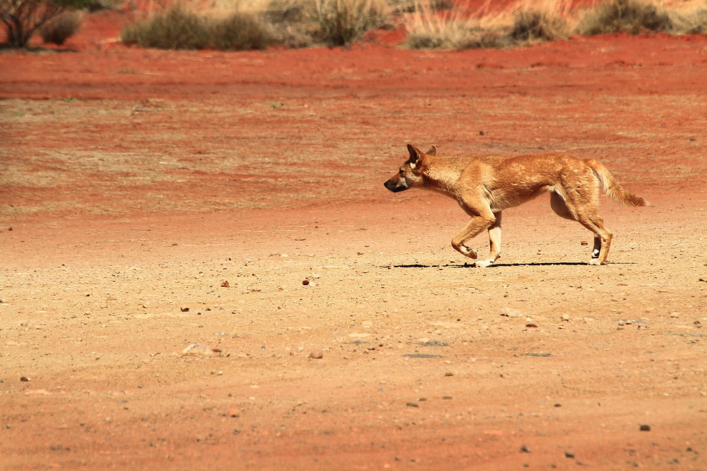 A wild dingo running along the red dirt in Nullarbor