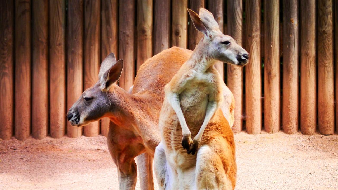 Two red kangaroos sitting together